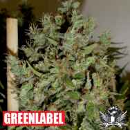 Green Label Seeds Big Jack